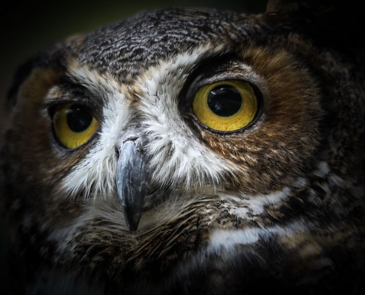 Great Horned Owl - Aspen Willow Fine Art Photography Gallery