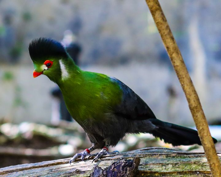 Delicate Green Turaco - Aspen Willow Fine Art Photography Gallery