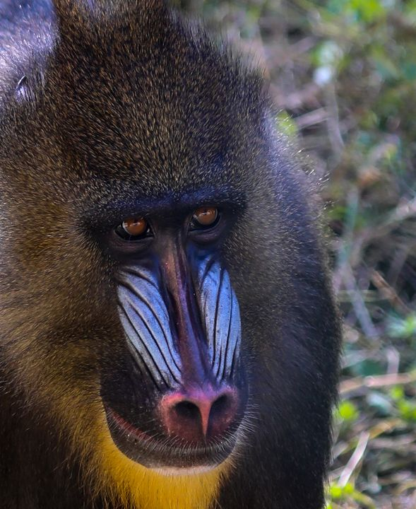 Mandrill in Portraiture - Aspen Willow Fine Art Photography Gallery