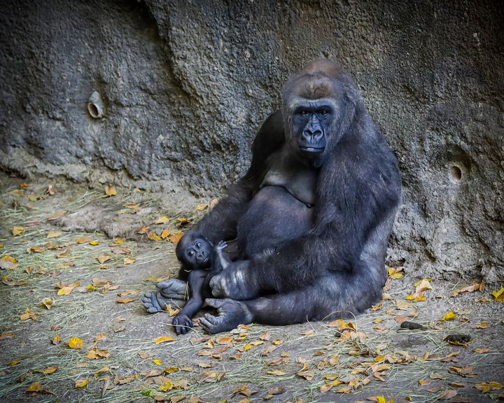 Mama Gorilla and Baby - Aspen Willow Fine Art Photography Gallery