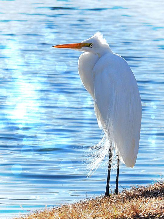 Great Egret Sunning - Aspen Willow Fine Art Photography Gallery