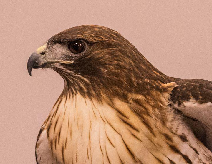 Portrait of a Hawk - Aspen Willow Fine Art Photography Gallery