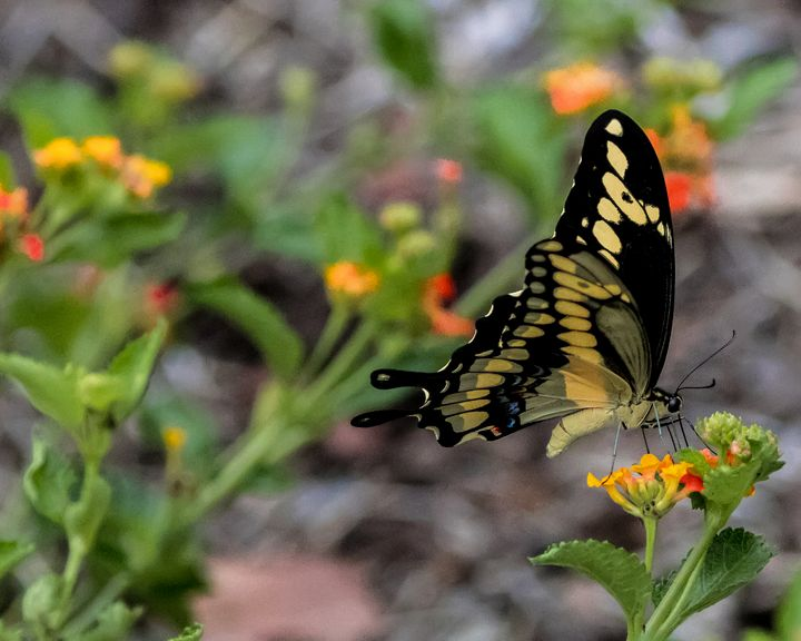Black and Yellow Swallowtail - Aspen Willow Fine Art Photography Gallery