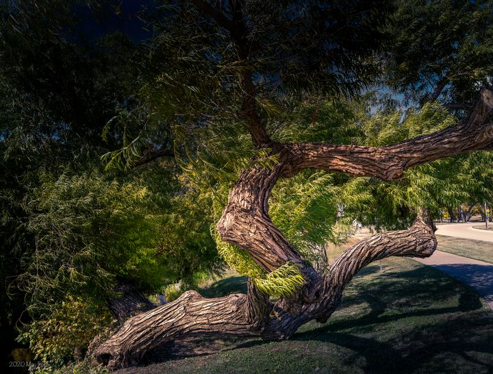 Magnificent Old Tree - Aspen Willow Fine Art Photography Gallery