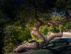 Magnificent Old Tree