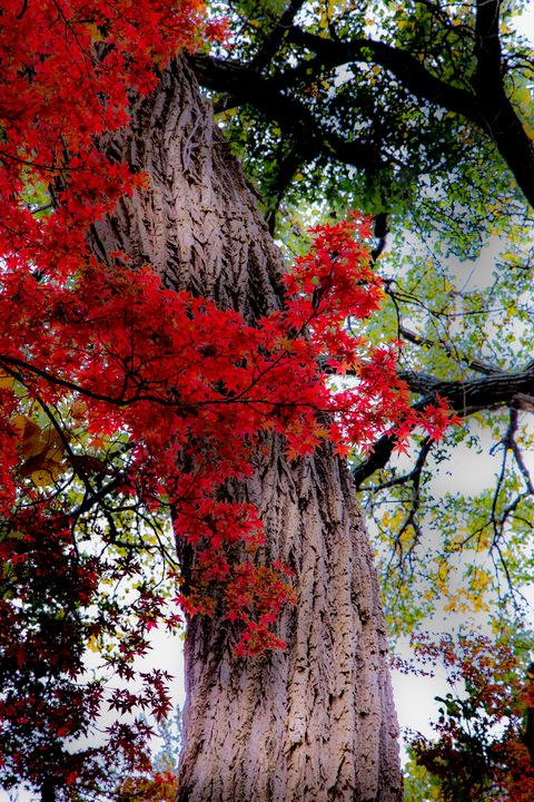 Red Tree Scarf - Aspen Willow Fine Art Photography Gallery