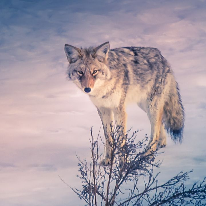 Coyote - Aspen Willow Fine Art Photography Gallery