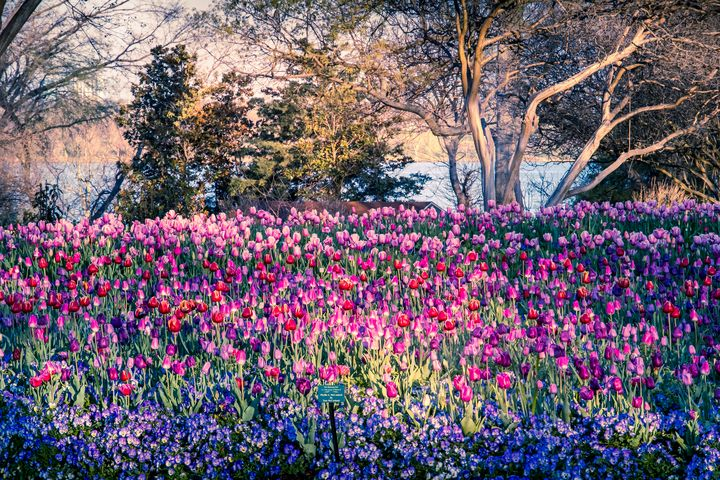 Tulips and Trees - Aspen Willow Fine Art Photography Gallery