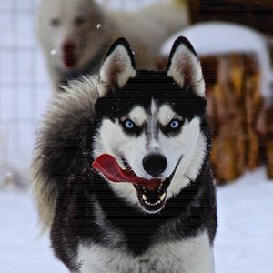 Huskies Playing - Aspen Willow Fine Art Photography Gallery
