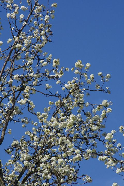 Bartlett Pear Tree in Bloom - Aspen Willow Fine Art Photography Gallery