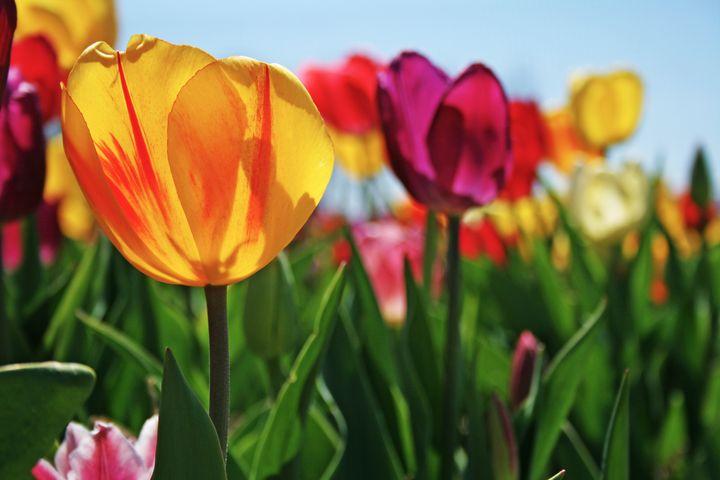 Tulips Sunning - Xtraordinary Evoked
