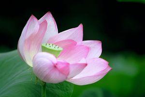 Lotus Awakening