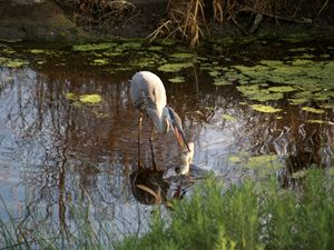 Blue Heron with Breakfast