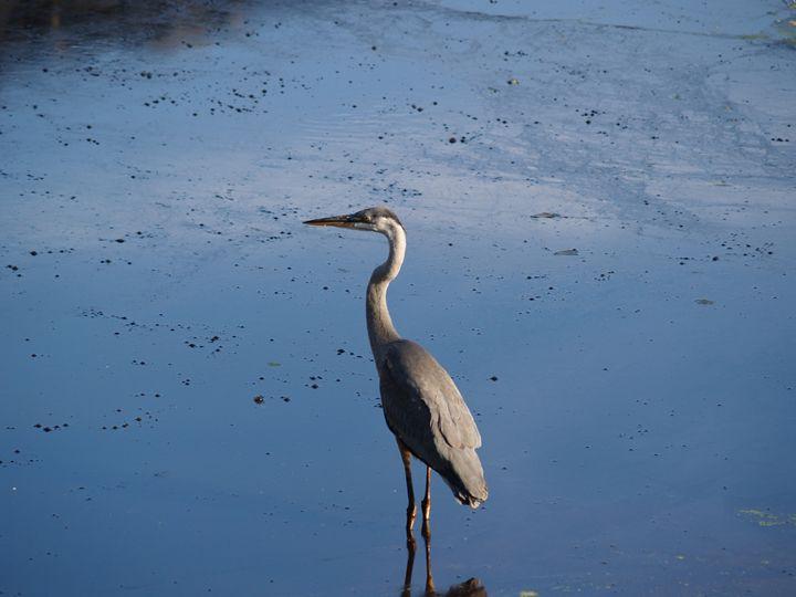 Still of Blue Heron - Eveoak