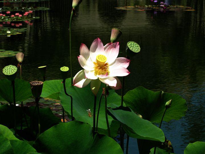 White Lotus Flower - Eveoak