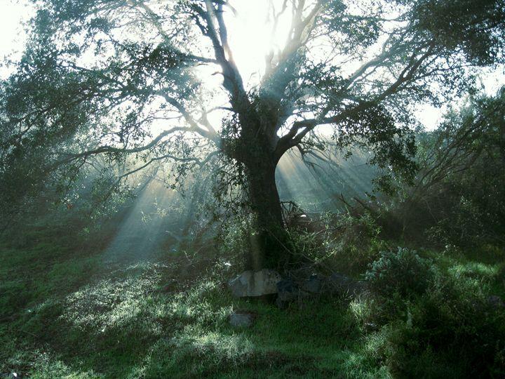 Liveoak Sunbeams - Eveoak