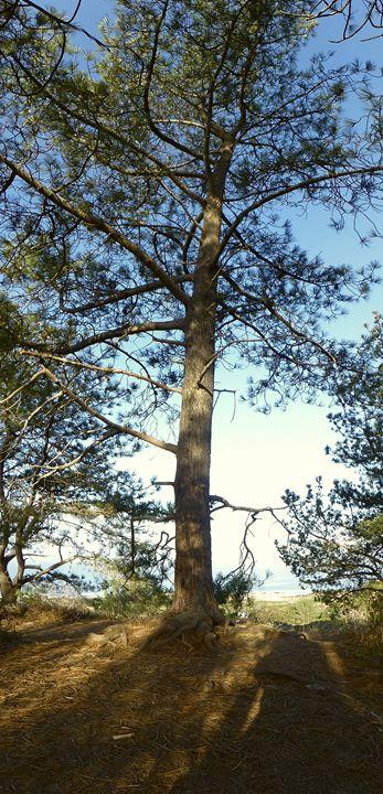 Torrey Pine - Eveoak