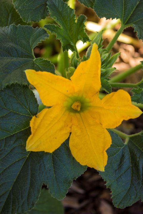 Zucchini Flower - Flashbulb Foto