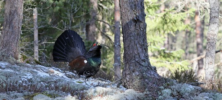 Capercaillie in Pine forest - Mats Janson