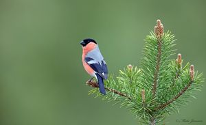 Bullfinch in Pine top