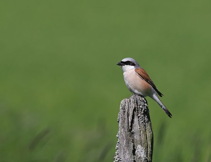 Red-backed shrike - Mats Janson