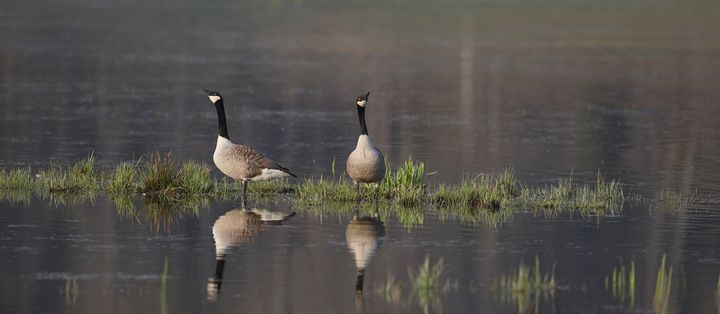 Pair of Canada geese in spring - Mats Janson