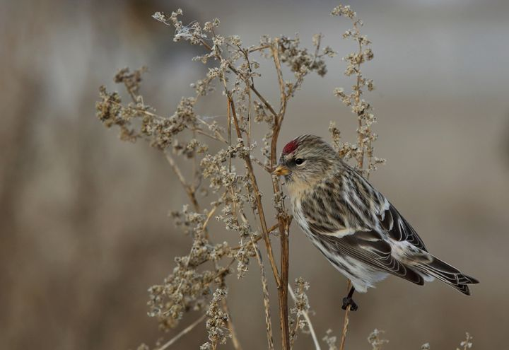 Common redpoll - Mats Janson