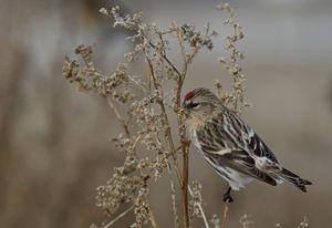 Common redpoll - Mats Janson