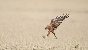 Hunting Harrier