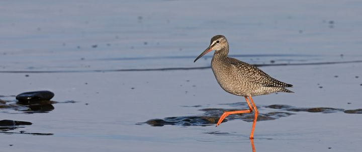 Young Spotted redshank - Mats Janson