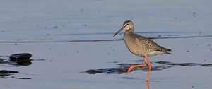 Young Spotted redshank