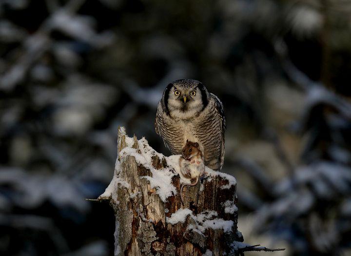 Northern hawk-owl with prey - Mats Janson