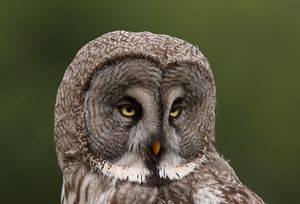 Strix nebulosa, Great grey owl