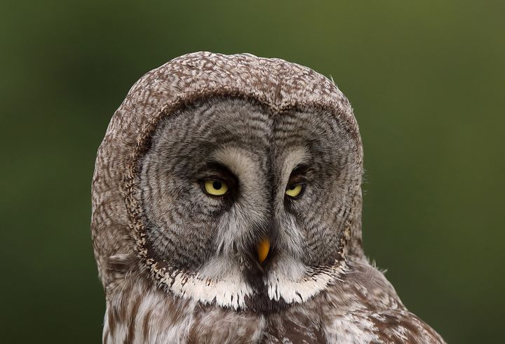 Strix nebulosa, Great grey owl - Mats Janson