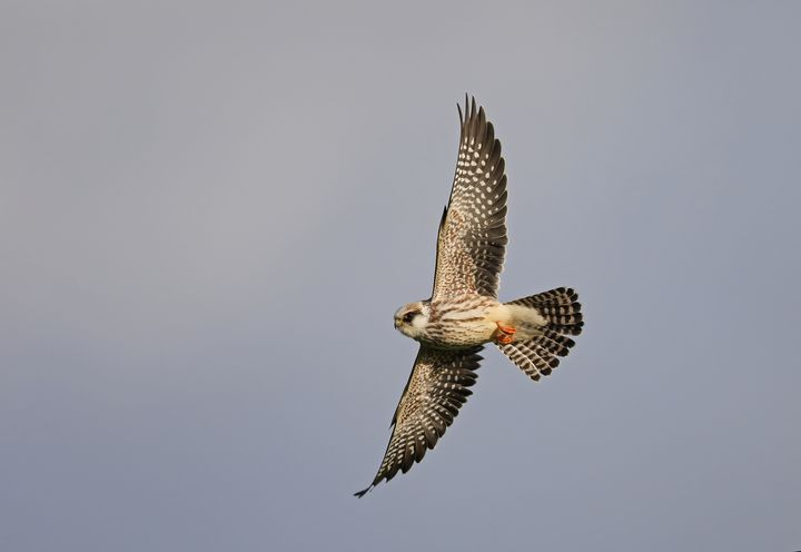 Young Red-footed falcon - Mats Janson