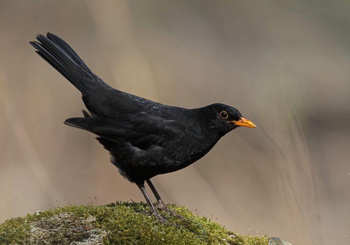 Male Common blackbird - Mats Janson