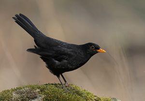 Male Common blackbird