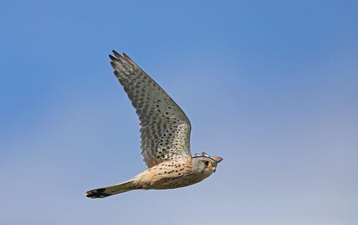 Common kestrel (Falco tinnunculus) - Mats Janson