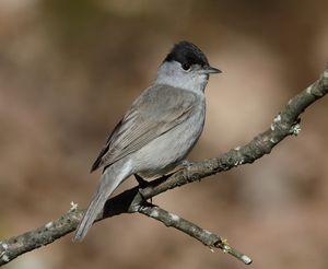 Male Blackcap (Sylvia atricapilla)