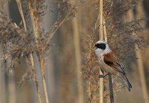 Eurasian Penduline tit in reeds
