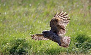 Hunting owl