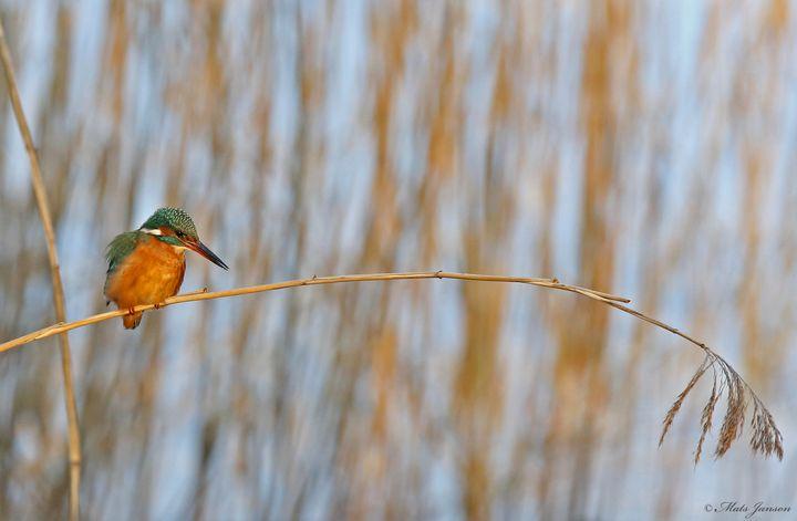 Hunting Kingfisher - Mats Janson