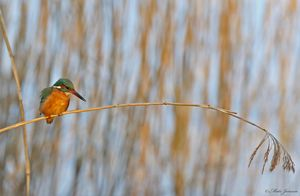 Hunting Kingfisher