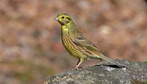 Male Yellowhammer sitting on rock