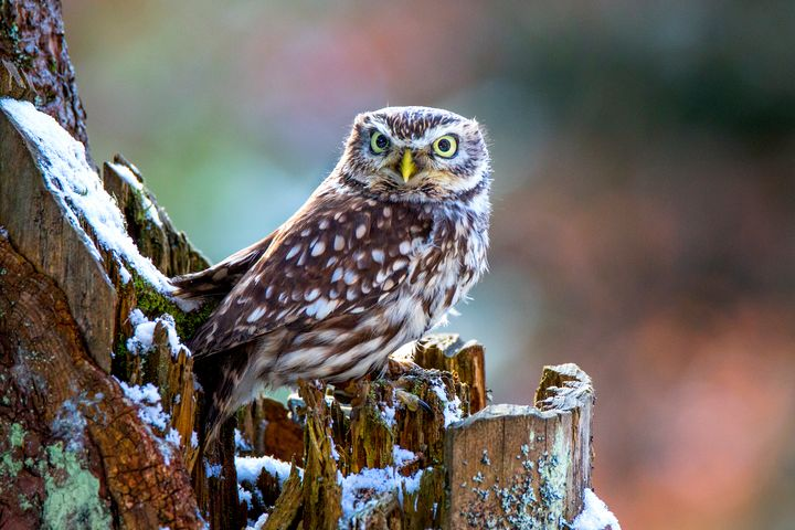 A Little Owl with snow. - Dave Hare Photography