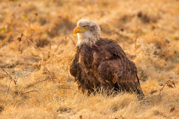 Bald Eagle - Dave Hare Photography
