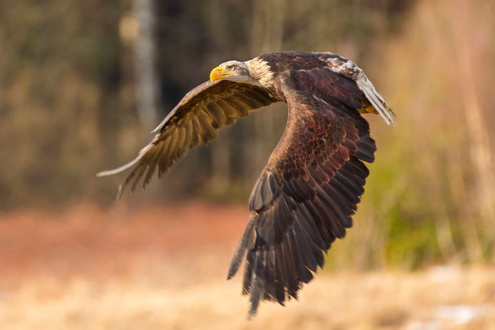 Bald Eagle in Flight - Dave Hare Photography