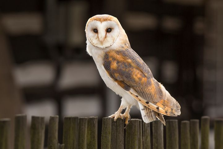 Barn Owl - Dave Hare Photography