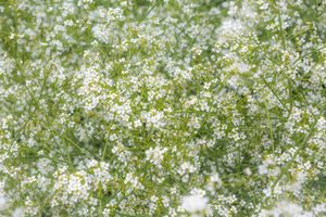 Tiny white flowers.
