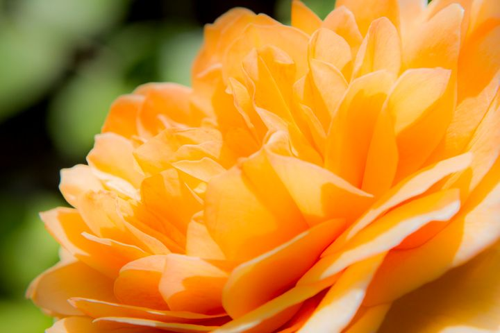 Orange Petals - Dave Hare Photography